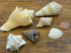Sea Shells Medium Mix - Natural 5 lb. bag