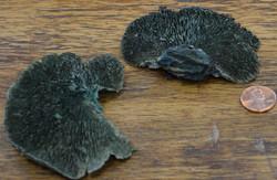 Sponge Mushroom  - Aqua