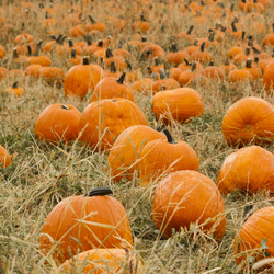 Pumpkin Patch Fragrance Oil (not skin safe)