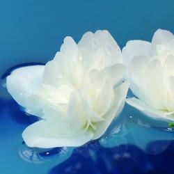 Night Blooming Jasmine Fragrance Oil