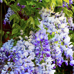 Wisteria and Lilac Fragrance Oil