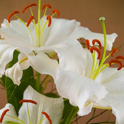 Casa Blanca Lily Fragrance Oil