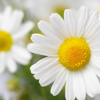 Daisy (our version of) Fragrance Oil