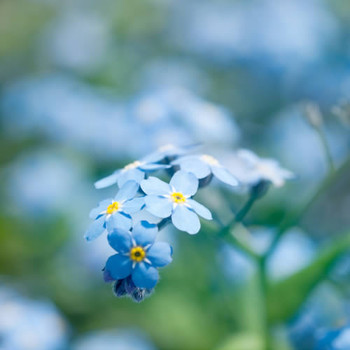 Forget Me Not Blossoms Fragrance Oil