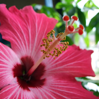 Pink Hibiscus II (our version of) Fragrance Oil