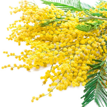 Rainkissed Mimosa Fragrance Oil