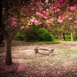 Blushing Cherry Blossom Fragrance Oil