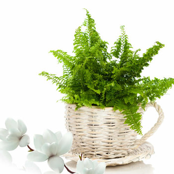 Fern & Champaca Fragrance Oil