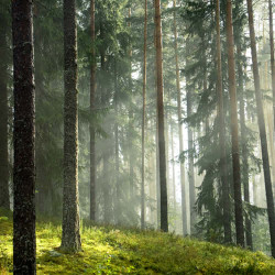 White Pine Wilderness Fragrance Oil