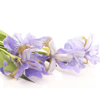 Iris PF Fragrance Oil