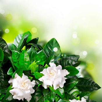 Jungle Gardenia II Fragrance Oil