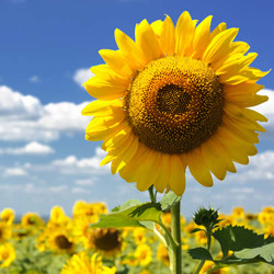 Sunflower Fragrance Oil