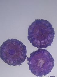 Maize - Lavender