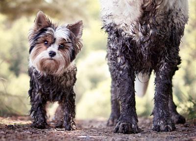 muddy dogs