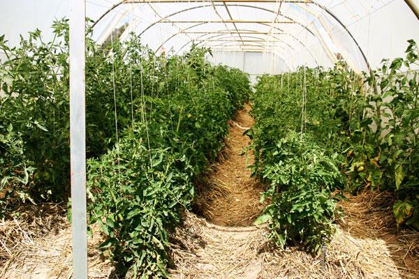tomatoesonstrings4.jpg