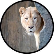 Peeking Lion BR