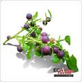 Wild Huckleberry