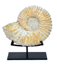 Large Fossilized Ammonite on Custom Iron Stand