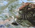 Tiger Swim by Dan Engle