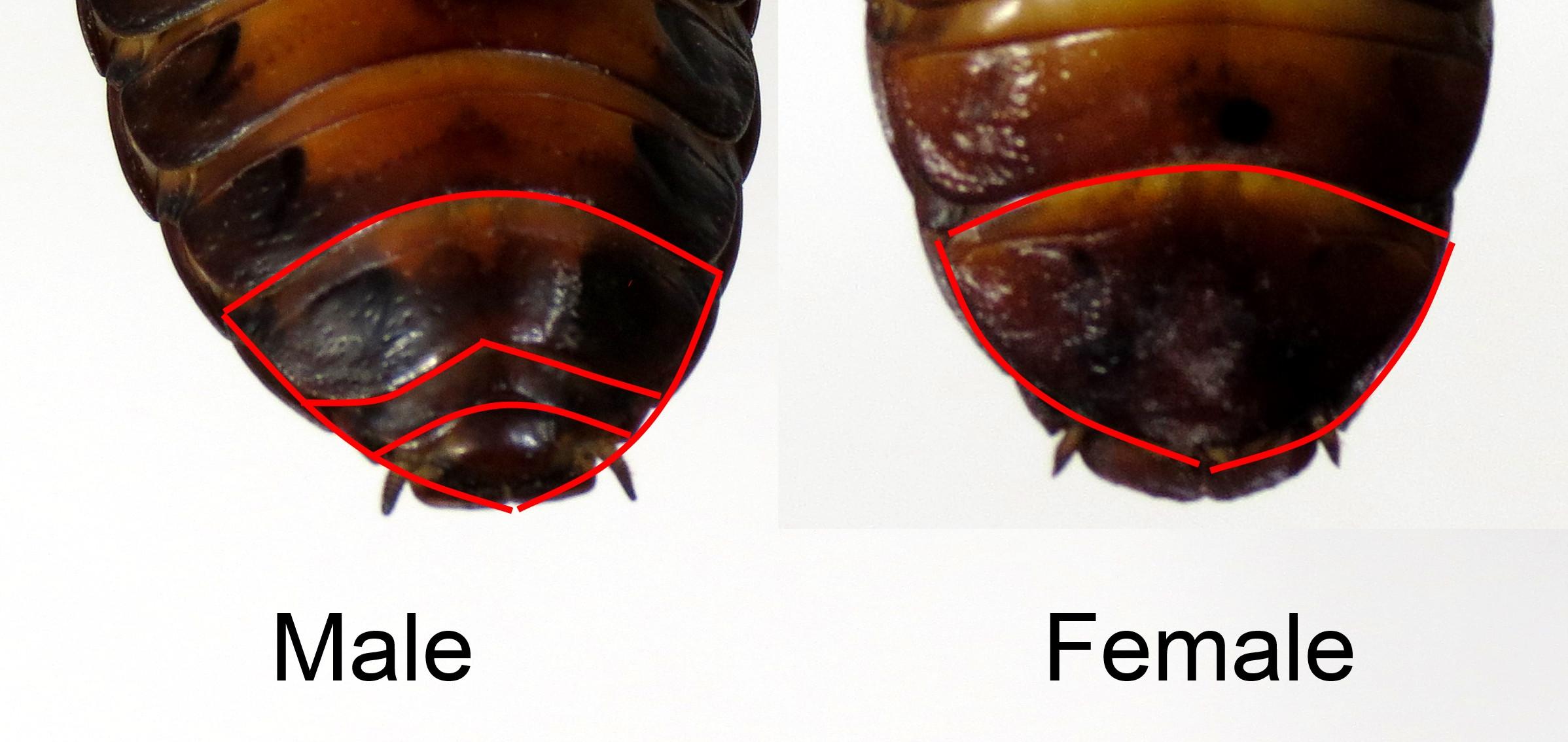 hissing-male-female.jpg