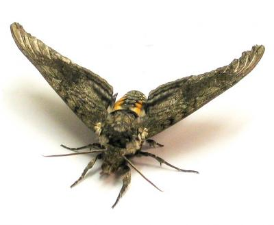 manduca-moth.jpg