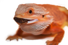 Bearded Dragons love hunting and chasing live food!