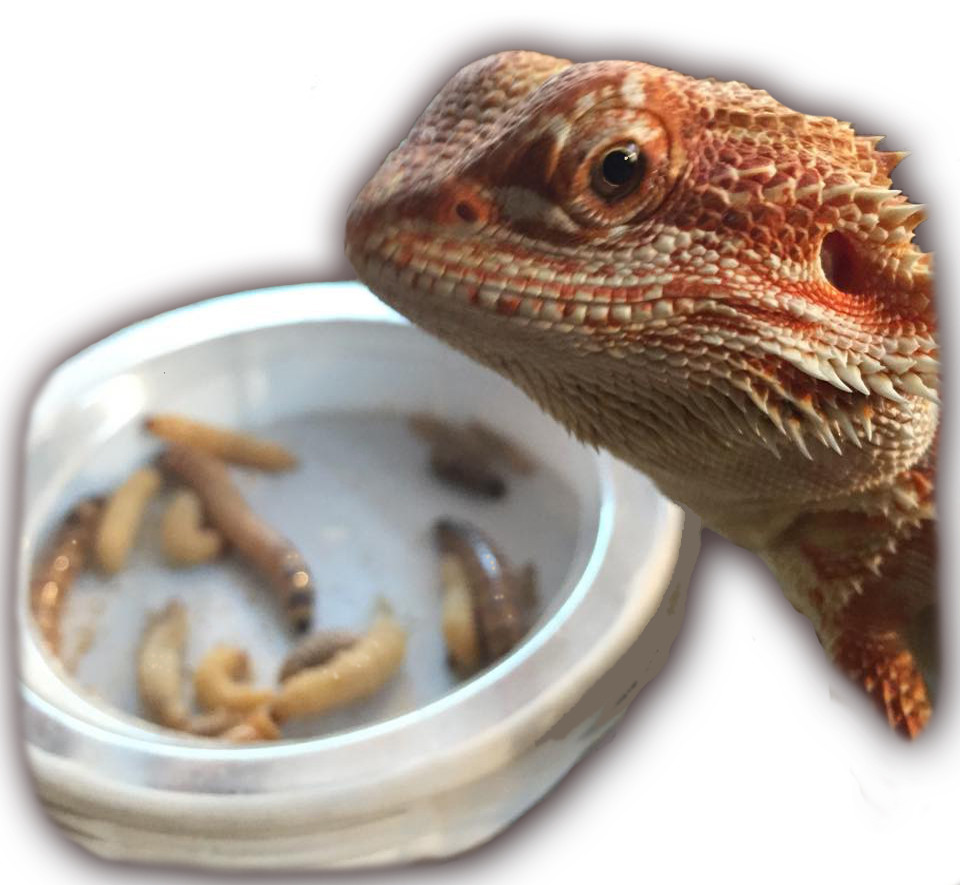 Baby Bearded Dragon Sampler Pack