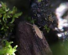 Tiny, tiny springtails