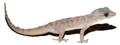 Brook's Geckos