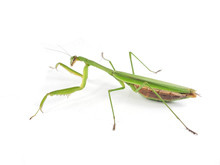 Adult Chinese Mantis