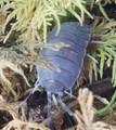 Powder Blue Isopods