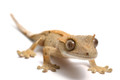 Crested Geckos thrive on a variety of foods