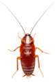 Red Runner or Turkistan Roach