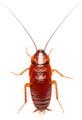 Red Runner or Turkistan Roach