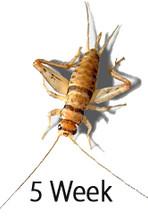 5 week crickets