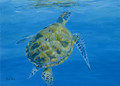 Green Turtle swimming up to the surface