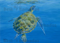 Green Turtle Surfacing with Reflections by Sue Trew