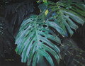 Philodendron Leaves by Sue Trew