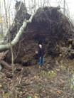 Tree Rootballs Excavating Removed