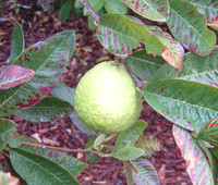Psidium guajava ssp pyriferum - Pear Guava