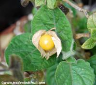 Physalis angulata - Mullaca