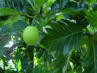 Artocarpus altilis - Breadnut