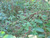 Fuchsia microphylla - Fuchsia