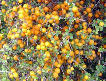 Citriobatus Pauciflorus Orange Thorn Seeds
