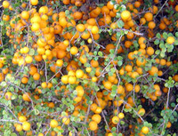 Citriobatus pauciflorus  - Orange Thorn