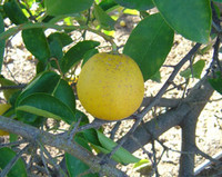 Citrus limettoides - Palestine Sweet Lime