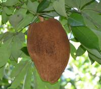 Pachira aquatica - Guiana Chestnut