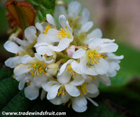 Saurauia madrensis - Saurauia