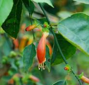 Halleria lucida - Tree Fuchsia