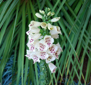 Digitalis purpurea alba - Foxglove White Tiger